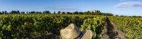 vendanges cathédrale de maguelone vignoble du languedoc