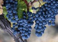 Les raisins de la vendanges solidaires en languedoc